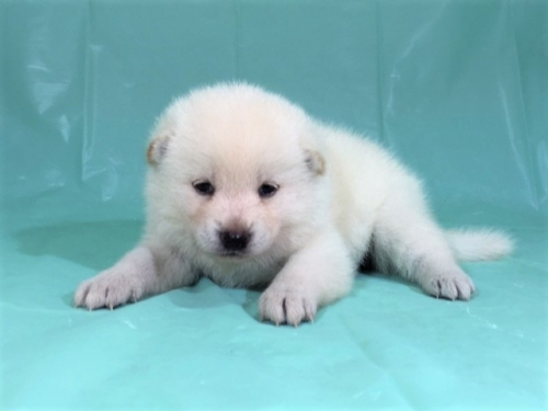 柴犬の子犬(ID:1262511334)の2枚目の写真/更新日:2017-07-11