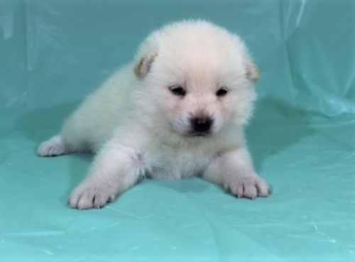 柴犬の子犬(ID:1262511334)の3枚目の写真/更新日:2017-07-11