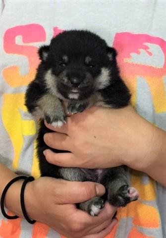 柴犬の子犬(ID:1262511335)の3枚目の写真/更新日:2017-06-29