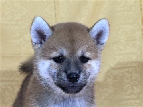 柴犬の子犬(ID:1262511336)の1枚目の写真/更新日:2017-07-26