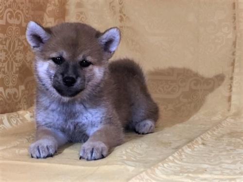 柴犬の子犬(ID:1262511336)の2枚目の写真/更新日:2017-07-26
