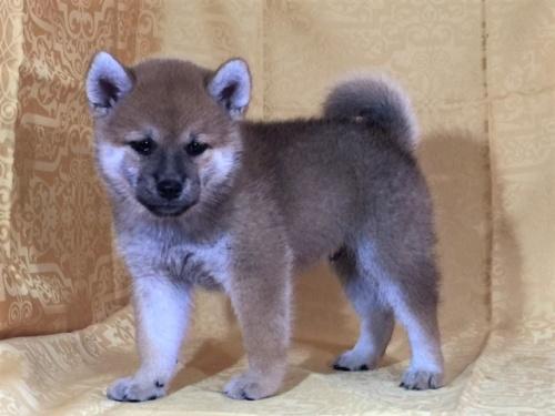 柴犬の子犬(ID:1262511336)の3枚目の写真/更新日:2017-07-11