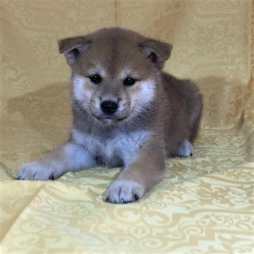 柴犬の子犬(ID:1262511337)の2枚目の写真/更新日:2017-07-26