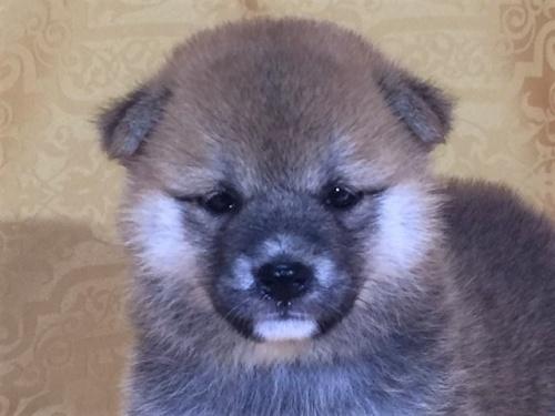柴犬の子犬(ID:1262511338)の1枚目の写真/更新日:2017-07-20