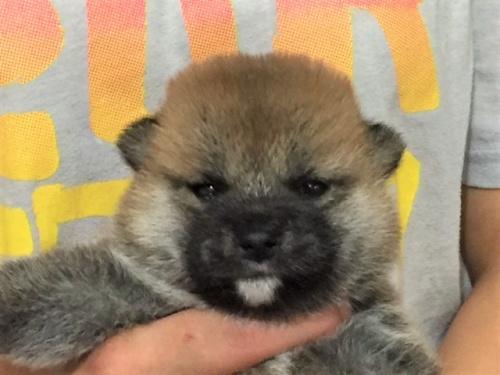 柴犬の子犬(ID:1262511339)の1枚目の写真/更新日:2017-07-10