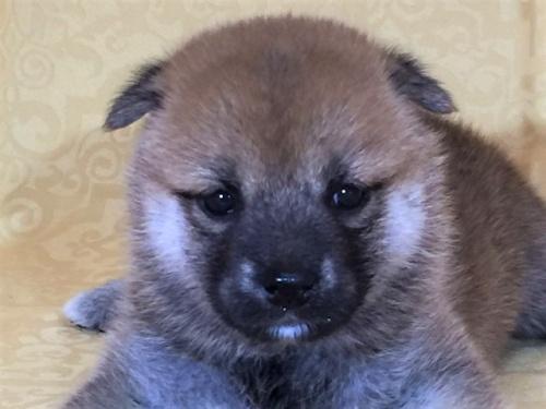 柴犬の子犬(ID:1262511340)の1枚目の写真/更新日:2017-07-20
