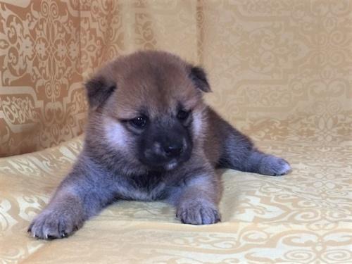 柴犬の子犬(ID:1262511340)の3枚目の写真/更新日:2017-07-20
