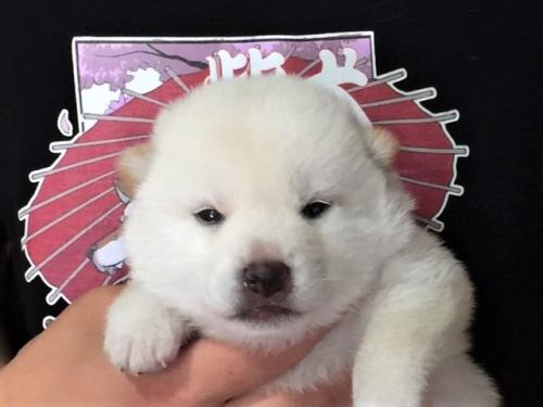柴犬の子犬(ID:1262511341)の1枚目の写真/更新日:2017-07-11