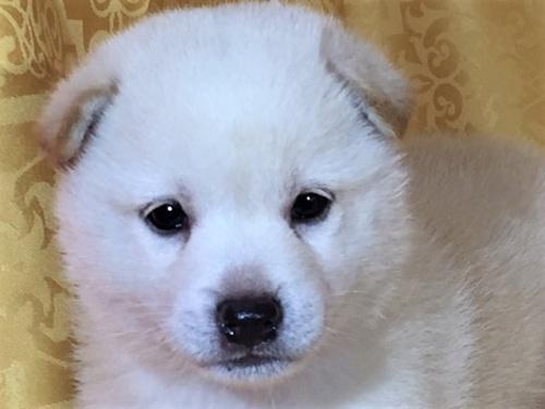 柴犬の子犬(ID:1262511342)の1枚目の写真/更新日:2017-07-24