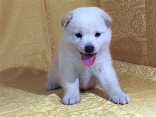 柴犬の子犬(ID:1262511342)の2枚目の写真/更新日:2017-07-24