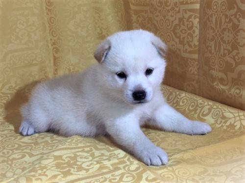 柴犬の子犬(ID:1262511342)の3枚目の写真/更新日:2017-07-24