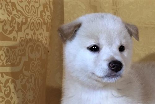 柴犬の子犬(ID:1262511343)の1枚目の写真/更新日:2017-08-03