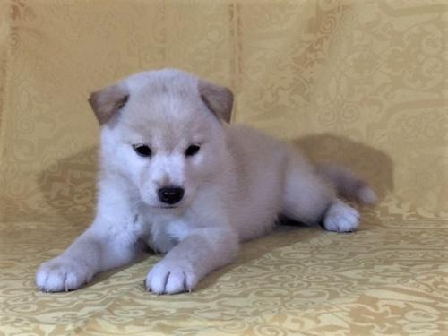 柴犬の子犬(ID:1262511343)の2枚目の写真/更新日:2017-08-03