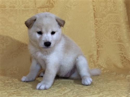 柴犬の子犬(ID:1262511343)の3枚目の写真/更新日:2017-08-03