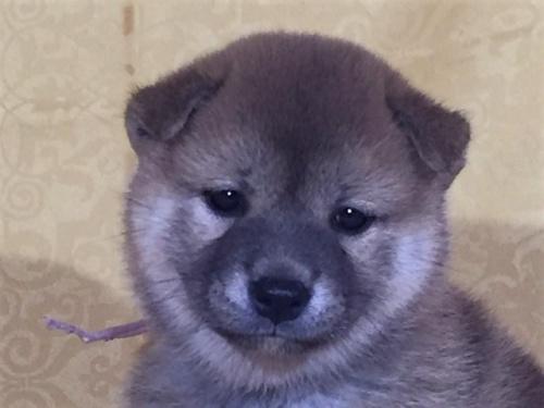 柴犬の子犬(ID:1262511344)の1枚目の写真/更新日:2017-08-05