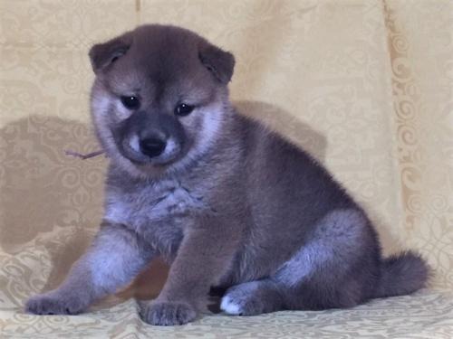 柴犬の子犬(ID:1262511344)の2枚目の写真/更新日:2017-08-05