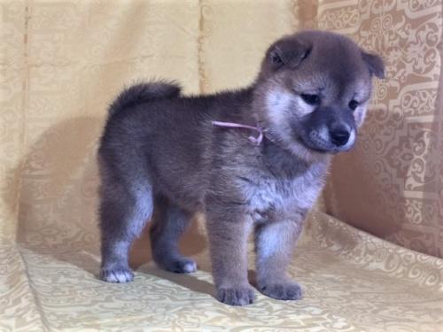 柴犬の子犬(ID:1262511344)の3枚目の写真/更新日:2017-08-05