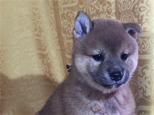柴犬の子犬(ID:1262511345)の1枚目の写真/更新日:2017-08-05