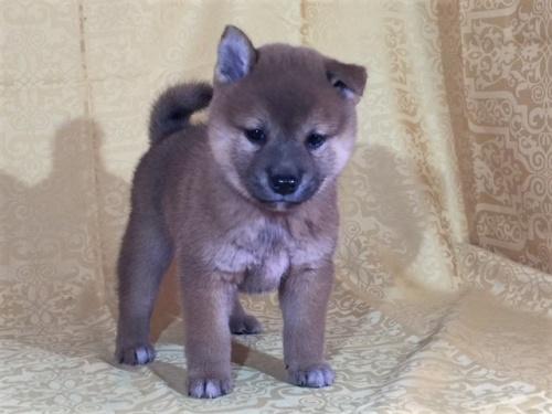柴犬の子犬(ID:1262511345)の3枚目の写真/更新日:2017-08-05