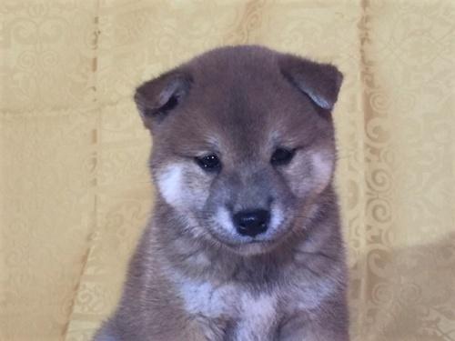 柴犬の子犬(ID:1262511346)の1枚目の写真/更新日:2017-08-05