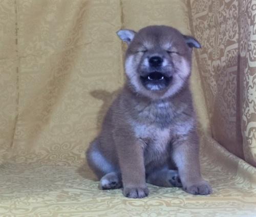 柴犬の子犬(ID:1262511346)の2枚目の写真/更新日:2017-08-05