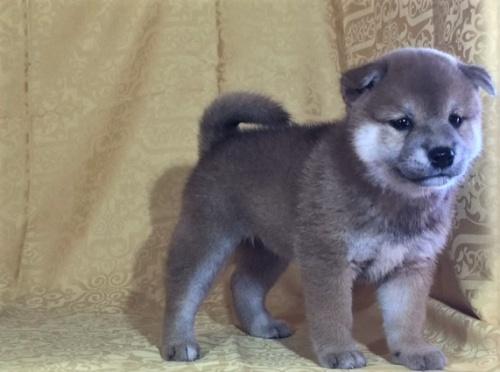 柴犬の子犬(ID:1262511346)の3枚目の写真/更新日:2017-07-18