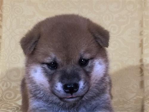 柴犬の子犬(ID:1262511347)の1枚目の写真/更新日:2017-07-19