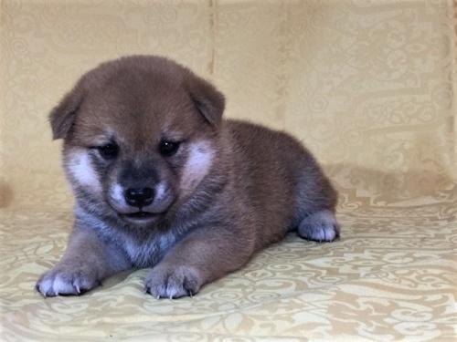 柴犬の子犬(ID:1262511347)の3枚目の写真/更新日:2017-07-19