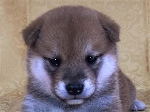 柴犬の子犬(ID:1262511348)の1枚目の写真/更新日:2017-07-19