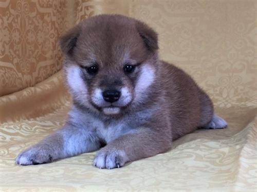 柴犬の子犬(ID:1262511348)の2枚目の写真/更新日:2017-07-28