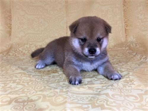 柴犬の子犬(ID:1262511348)の3枚目の写真/更新日:2017-07-28
