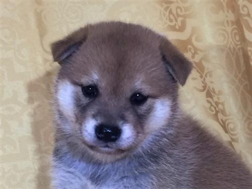 柴犬の子犬(ID:1262511349)の1枚目の写真/更新日:2017-07-28