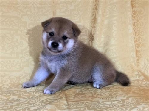 柴犬の子犬(ID:1262511349)の2枚目の写真/更新日:2017-07-28