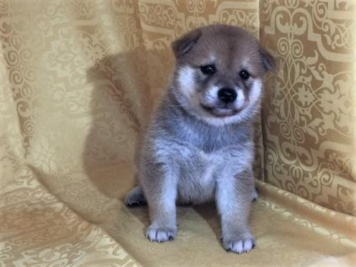 柴犬の子犬(ID:1262511349)の3枚目の写真/更新日:2017-07-28