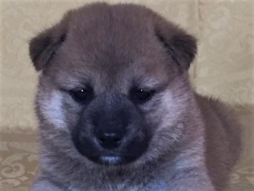 柴犬の子犬(ID:1262511350)の1枚目の写真/更新日:2017-08-01