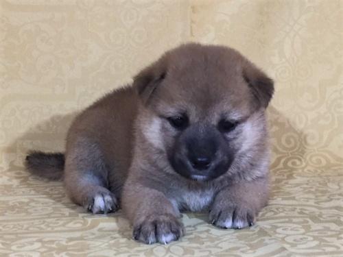 柴犬の子犬(ID:1262511350)の2枚目の写真/更新日:2017-08-01