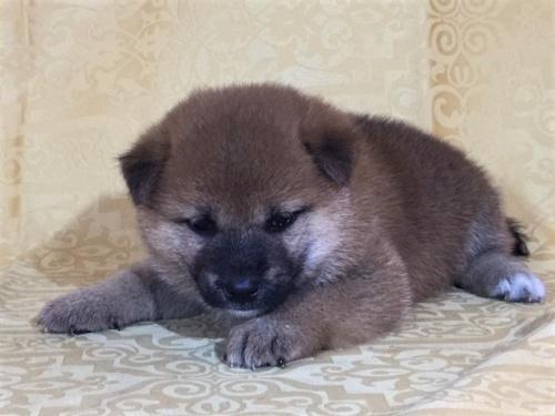 柴犬の子犬(ID:1262511352)の3枚目の写真/更新日:2017-08-01