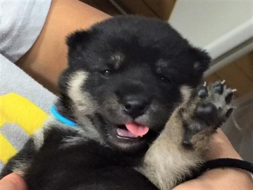 柴犬の子犬(ID:1262511353)の1枚目の写真/更新日:2017-07-23
