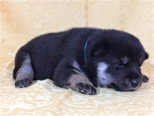 柴犬の子犬(ID:1262511353)の2枚目の写真/更新日:2017-07-23