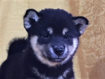 柴犬の子犬(ID:1262511354)の1枚目の写真/更新日:2017-07-23
