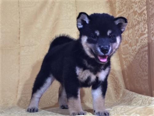 柴犬の子犬(ID:1262511354)の2枚目の写真/更新日:2017-08-17