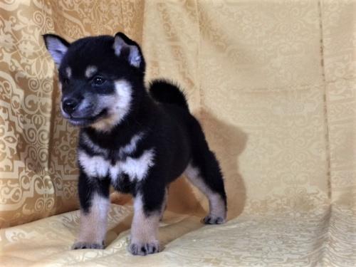 柴犬の子犬(ID:1262511354)の3枚目の写真/更新日:2017-07-23