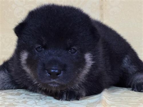 柴犬の子犬(ID:1262511355)の1枚目の写真/更新日:2017-07-23