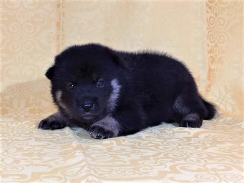 柴犬の子犬(ID:1262511355)の2枚目の写真/更新日:2017-07-23