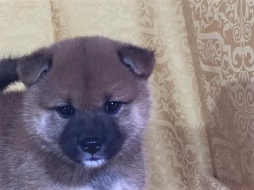 柴犬の子犬(ID:1262511356)の1枚目の写真/更新日:2017-07-25