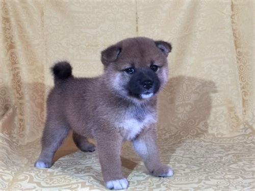 柴犬の子犬(ID:1262511356)の3枚目の写真/更新日:2017-08-06