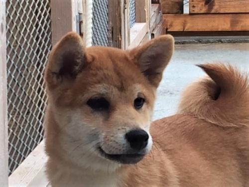 柴犬の子犬(ID:1262511357)の1枚目の写真/更新日:2017-08-13