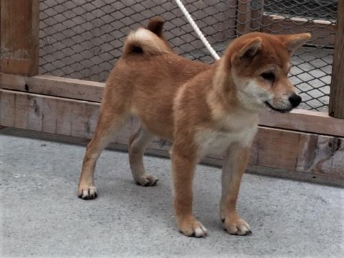 柴犬の子犬(ID:1262511357)の2枚目の写真/更新日:2017-08-13