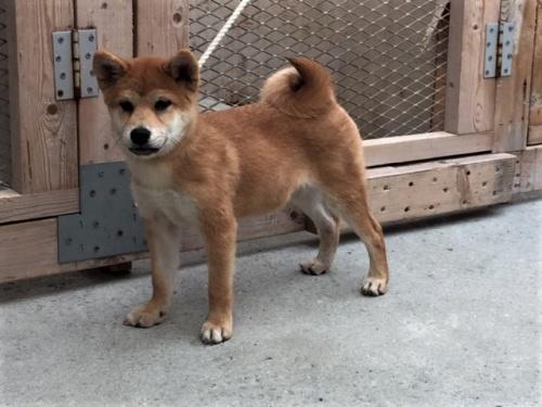 柴犬の子犬(ID:1262511357)の3枚目の写真/更新日:2017-08-13