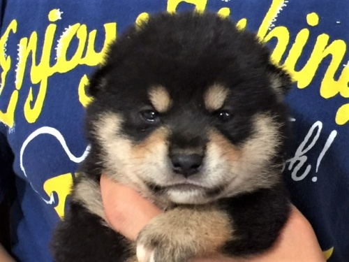 柴犬の子犬(ID:1262511358)の1枚目の写真/更新日:2017-07-26